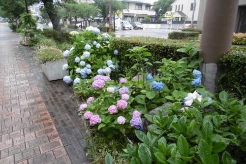 梅雨時はアジサイ通り_f0205367_17390878.jpg