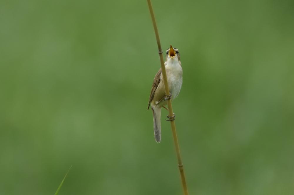 高原の鳥さん Ⅱ コヨシキリ_f0053272_10372719.jpg