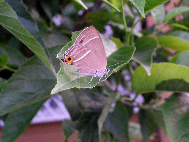 ミドリシジミの産卵 庭のハンノキにて_d0254540_18414619.jpg