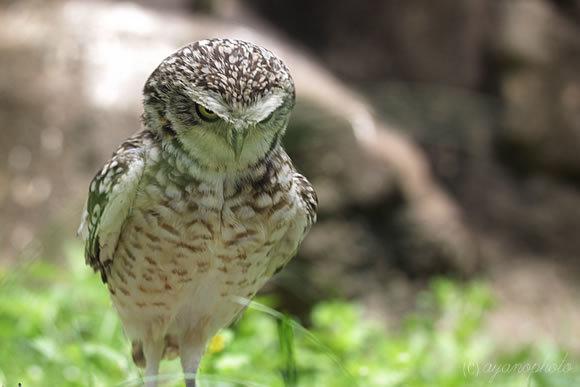 のいち動物園のアナホリフクロウ