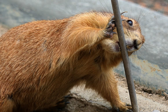 のいち動物園のプレーリードッグ