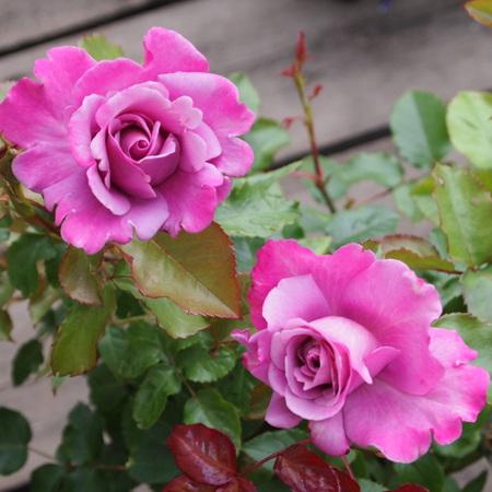 ベルサイユのバラシリーズ_a0292194_17324924.jpg