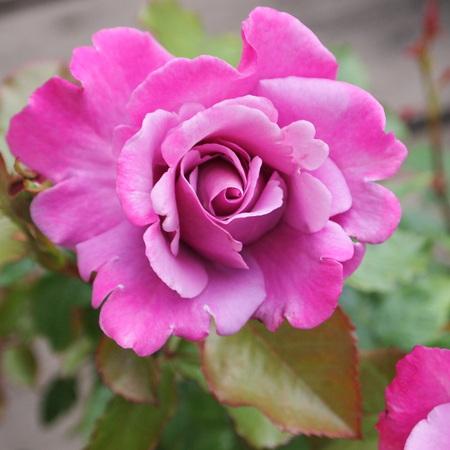 ベルサイユのバラシリーズ_a0292194_1733242.jpg