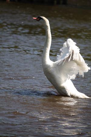 女王陛下の白鳥と学徒_b0199526_16102520.jpg