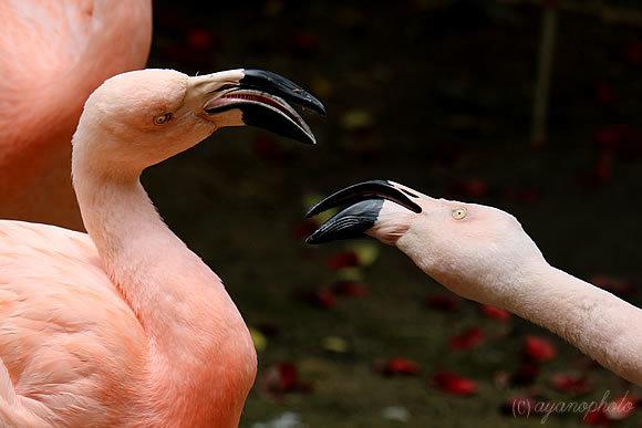 睨みあって喧嘩するフラミンゴたち