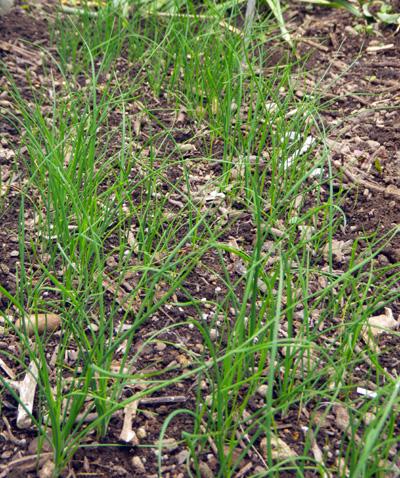 ミニミニ菜園の手入れと、小さくて長い草取り鎌のことなど♪_a0136293_1911986.jpg