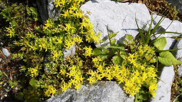 梅雨の合間の晴れ。クサタチバナが開花。ヒメレンゲもこれからです。_c0089831_9422834.jpg