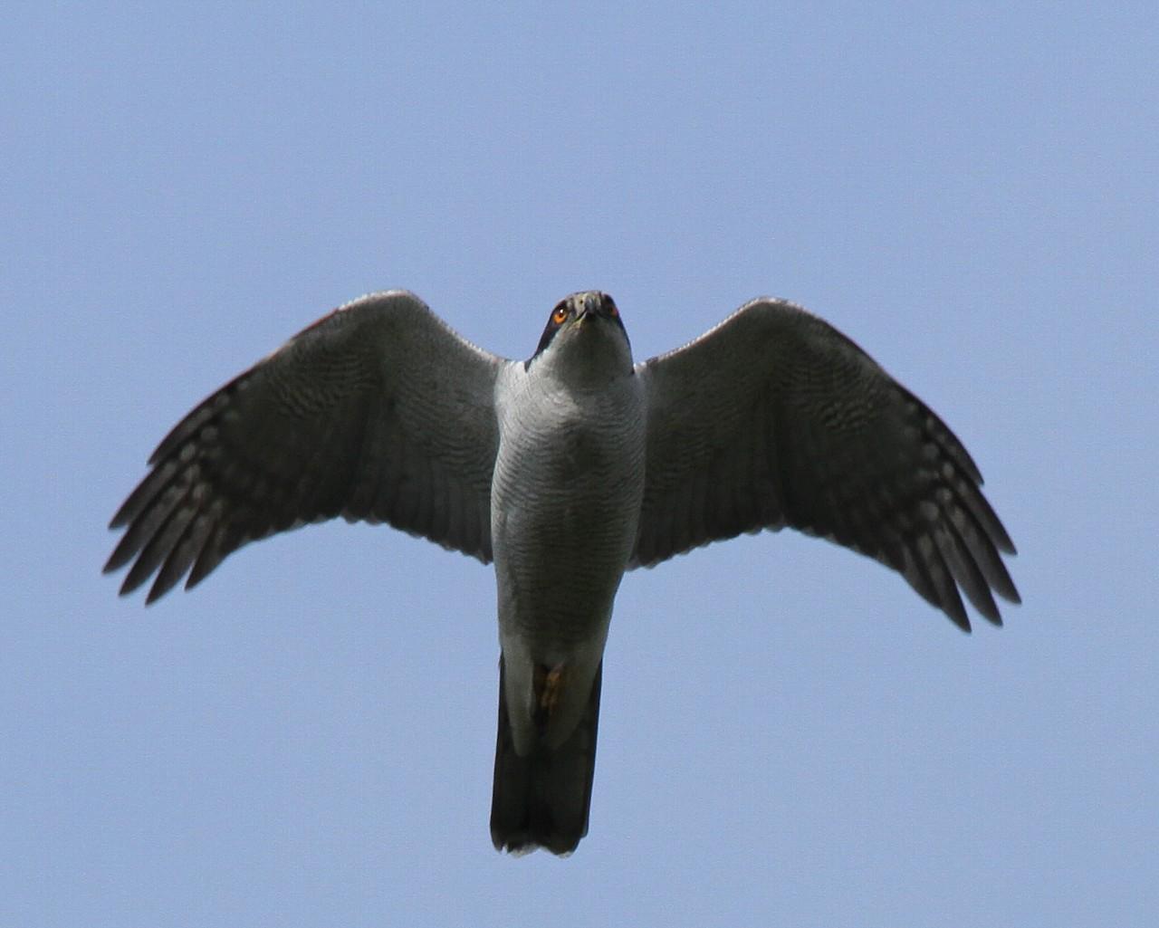 青空背景のオオタカ飛翔_f0105570_21425017.jpg