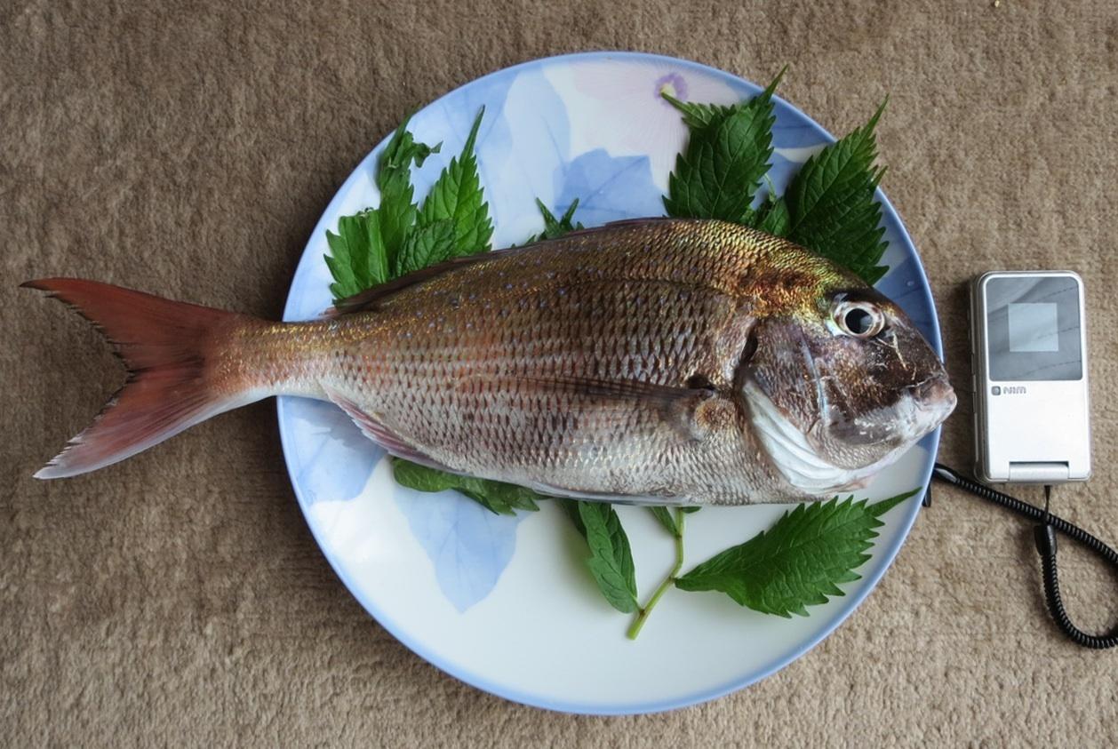 朝に釣った鯛を頂いた_e0054299_14211241.jpg