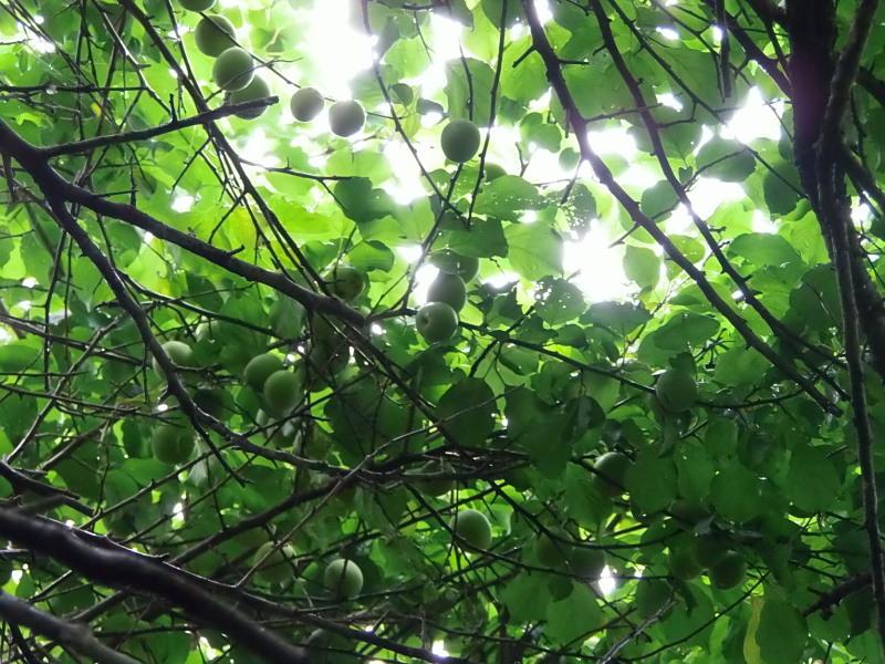 雨の中の「梅の収穫」の巻。_a0125419_13351528.jpg