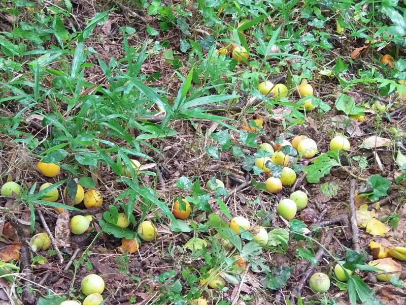 雨の中の「梅の収穫」の巻。_a0125419_13385596.jpg