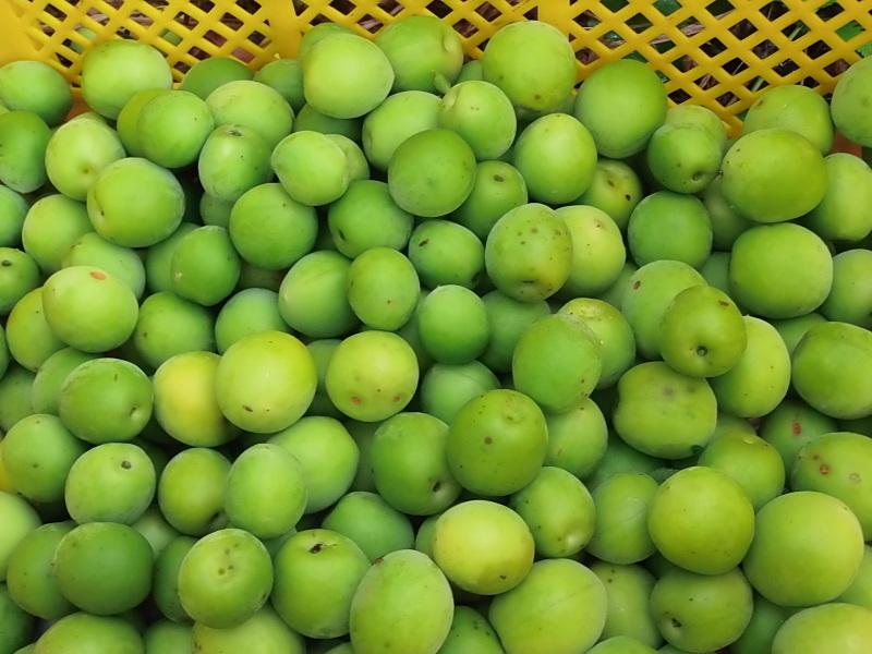 雨の中の「梅の収穫」の巻。_a0125419_13425844.jpg
