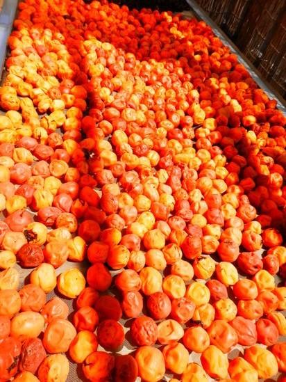 雨の中の「梅の収穫」の巻。_a0125419_13443096.jpg
