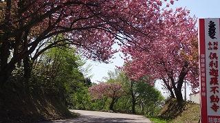 2016年 倶利迦羅さん八重桜まつり_c0208355_16481210.jpg