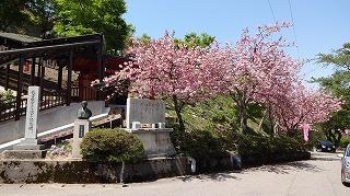 2015年 倶利迦羅さん八重桜まつり_c0208355_16481957.jpg