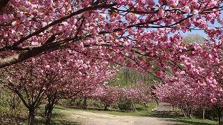 2015年 倶利迦羅さん八重桜まつり_c0208355_16492637.jpg