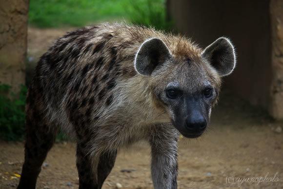 のいち動物園のブチハイエナ