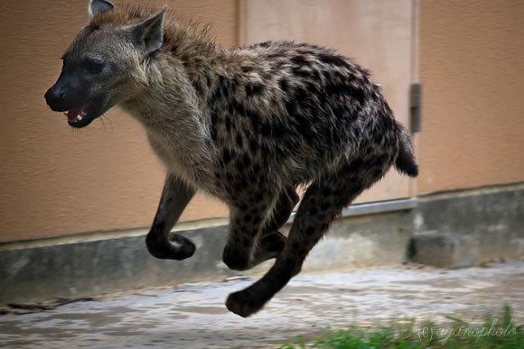 飛行犬ならぬ飛行ハイエナ