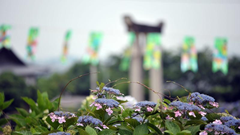 粟井神社のアジサイ_d0246136_22471451.jpg
