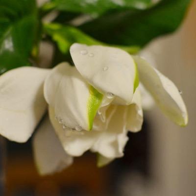 6/16のお花:あじさい、ケイトウ_b0042538_11263190.jpg