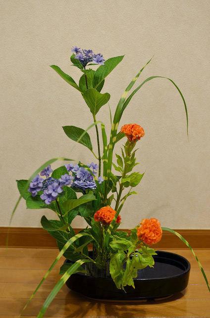 6/16のお花:あじさい、ケイトウ_b0042538_11263685.jpg