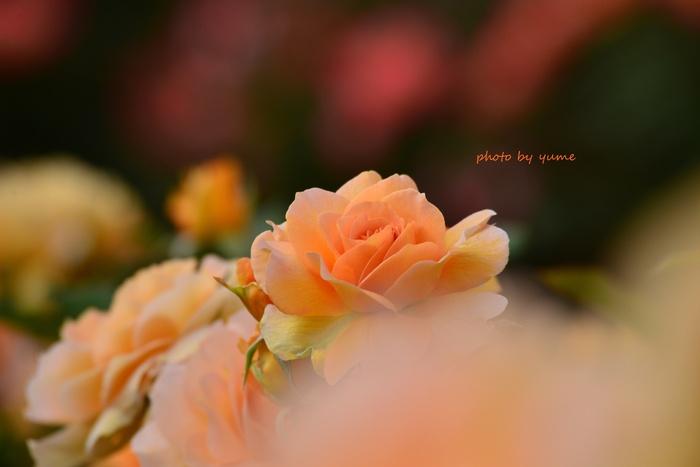 Apricot beauty_a0322950_1822769.jpg