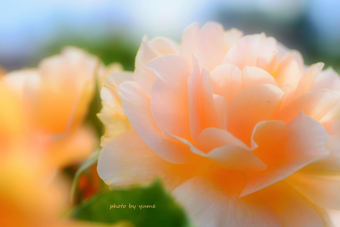 Apricot beauty_a0322950_1832799.jpg
