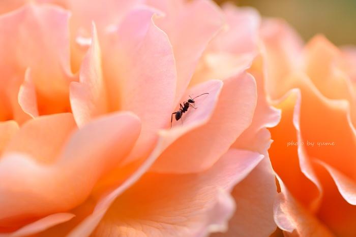 Apricot beauty_a0322950_183340.jpg
