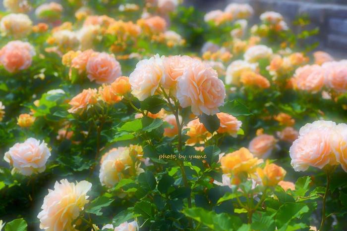 Apricot beauty_a0322950_1834921.jpg