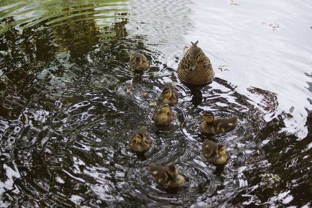 藤田八束の北海道の旅: カルガモの赤ちゃんに逢いました、北海道道庁池のカルガモの家族に癒されました_d0181492_11254683.jpg
