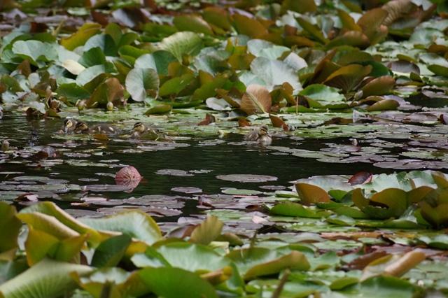 藤田八束の北海道の旅: カルガモの赤ちゃんに逢いました、北海道道庁池のカルガモの家族に癒されました_d0181492_11263389.jpg
