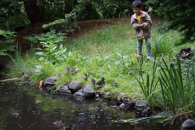 藤田八束の北海道の旅: カルガモの赤ちゃんに逢いました、北海道道庁池のカルガモの家族に癒されました_d0181492_11275682.jpg
