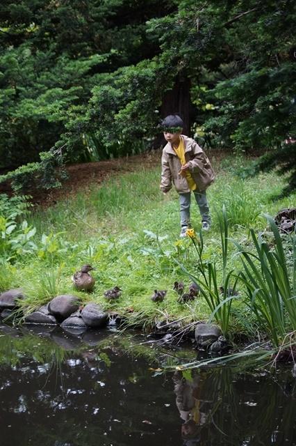 藤田八束の北海道の旅: カルガモの赤ちゃんに逢いました、北海道道庁池のカルガモの家族に癒されました_d0181492_11281338.jpg