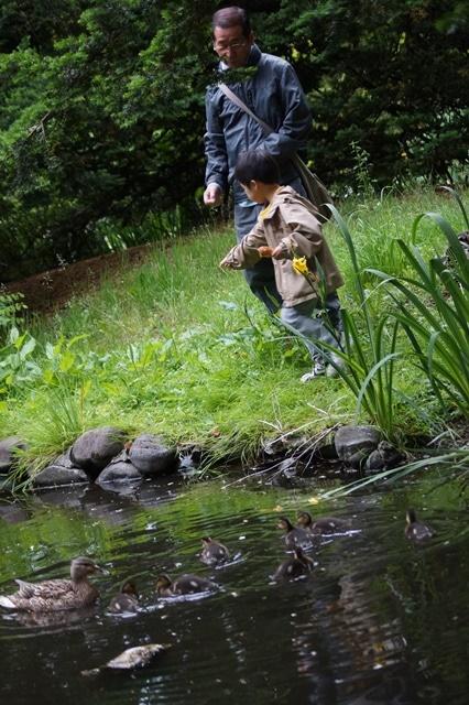 藤田八束の北海道の旅: カルガモの赤ちゃんに逢いました、北海道道庁池のカルガモの家族に癒されました_d0181492_1128434.jpg
