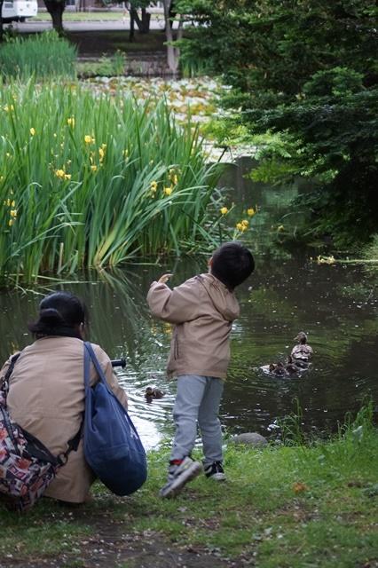 藤田八束の北海道の旅: カルガモの赤ちゃんに逢いました、北海道道庁池のカルガモの家族に癒されました_d0181492_1129250.jpg