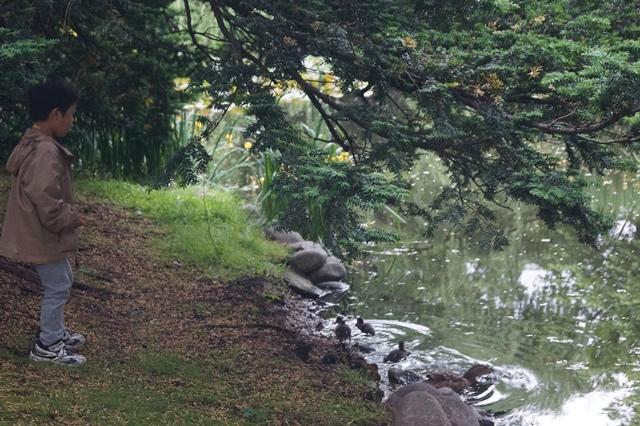 藤田八束の北海道の旅: カルガモの赤ちゃんに逢いました、北海道道庁池のカルガモの家族に癒されました_d0181492_11411785.jpg