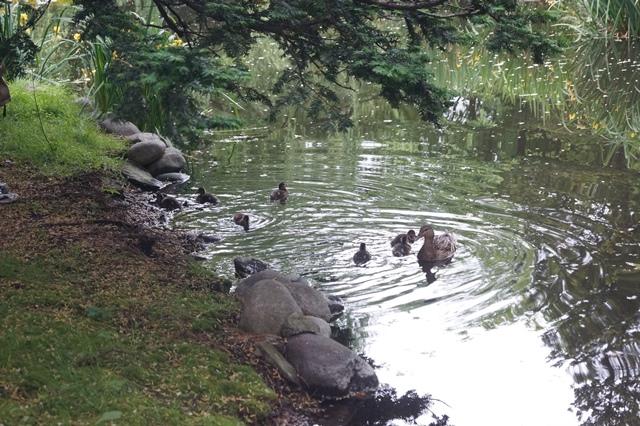 藤田八束の北海道の旅: カルガモの赤ちゃんに逢いました、北海道道庁池のカルガモの家族に癒されました_d0181492_11413771.jpg