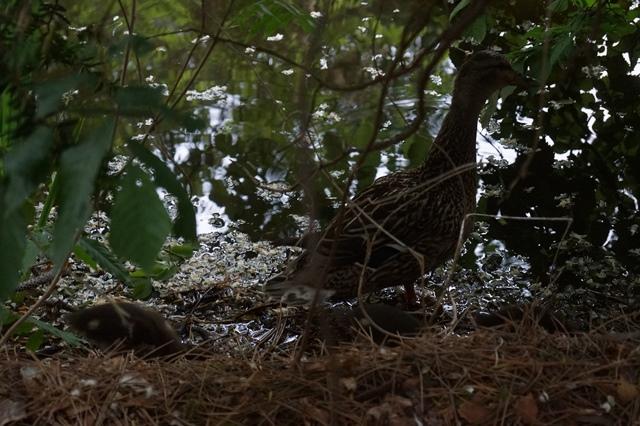 藤田八束の北海道の旅: カルガモの赤ちゃんに逢いました、北海道道庁池のカルガモの家族に癒されました_d0181492_11424047.jpg