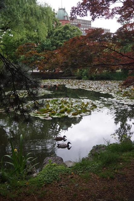 藤田八束の北海道の旅: カルガモの赤ちゃんに逢いました、北海道道庁池のカルガモの家族に癒されました_d0181492_11425920.jpg
