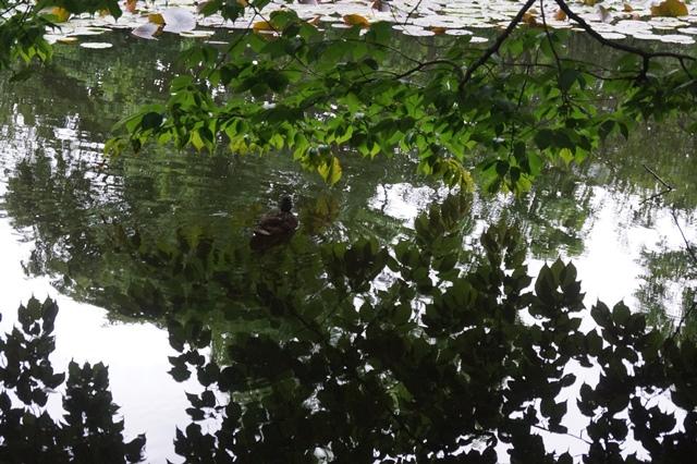 藤田八束の北海道の旅: カルガモの赤ちゃんに逢いました、北海道道庁池のカルガモの家族に癒されました_d0181492_11431774.jpg