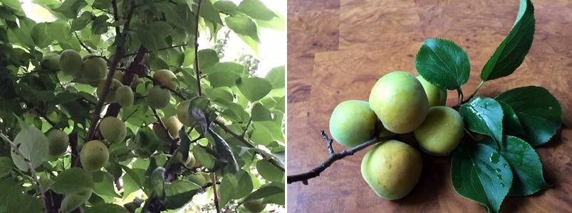 梅の実の季節はジャム作り_c0051102_19233054.jpg