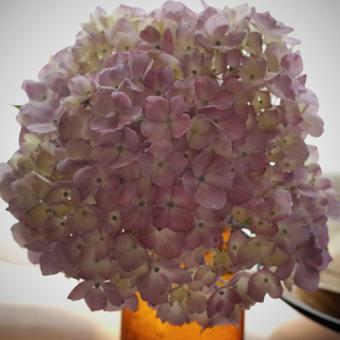 紫陽花の色_c0200002_1963216.jpg