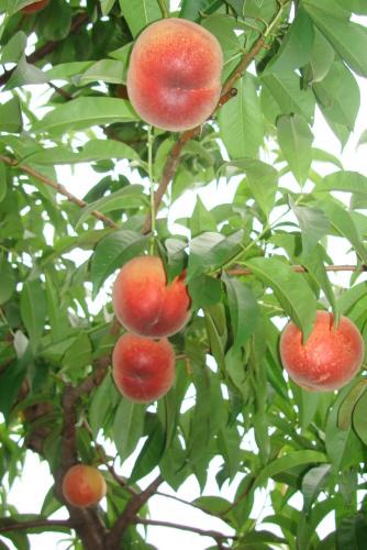 千代姫はつ収穫・・・ 桃の季節  到来_f0325525_22312953.jpg