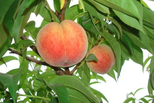 千代姫はつ収穫・・・ 桃の季節  到来_f0325525_22322670.jpg