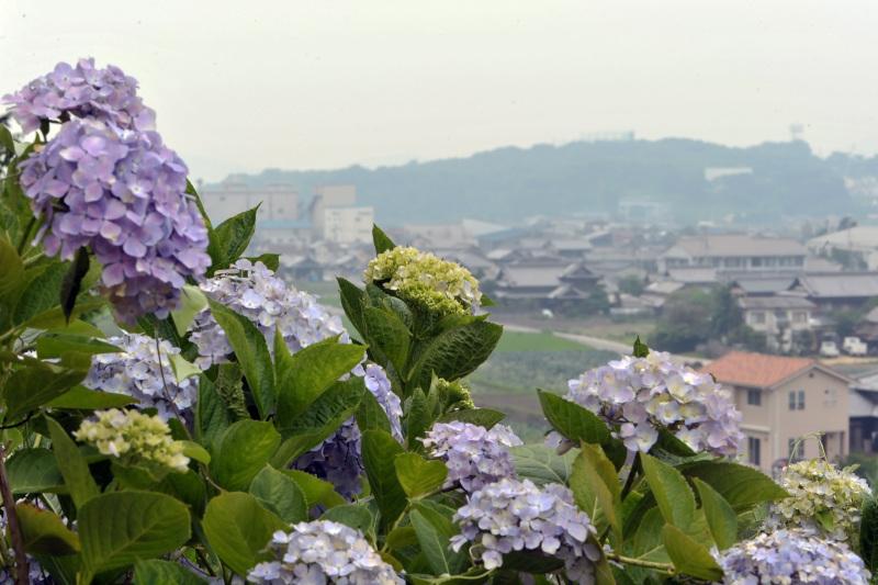 粟井神社のアジサイ ②_d0246136_16594766.jpg