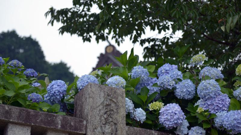 粟井神社のアジサイ ②_d0246136_17002358.jpg