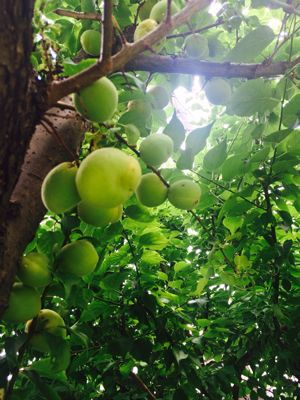 梅収穫☆_a0153945_1722895.jpg