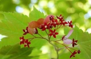 箏曲 楓の花のこと_b0299052_16190058.jpg