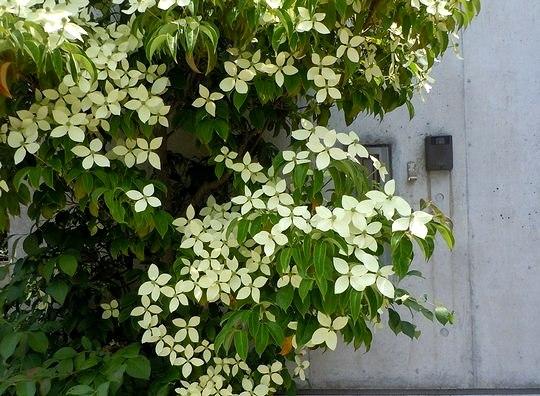 路傍の花、樹々の鳥(80) ~ ヒマラヤの帽子 ~_b0102572_22395768.jpg