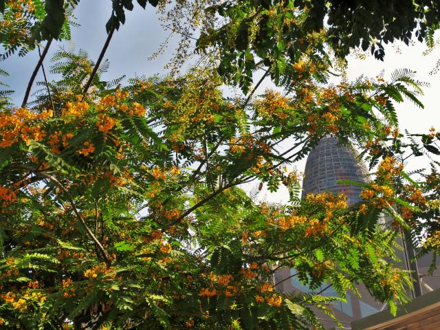 ティプアナ・ティプの花の季節_b0064411_00281317.jpg